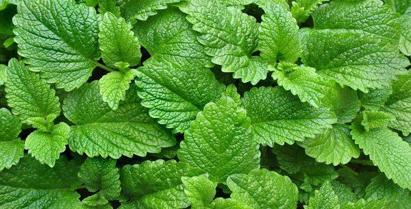 Benefícios da erva cidreira